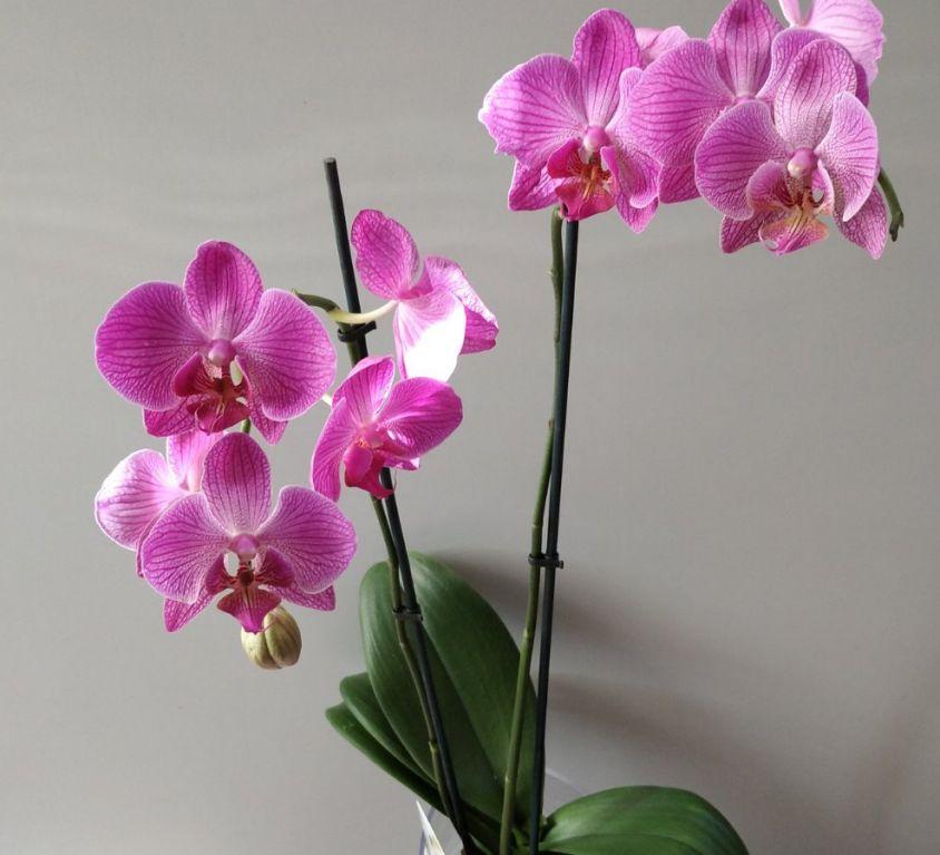 Орхидея фаленопсис 2 ветки в кашпо — 376