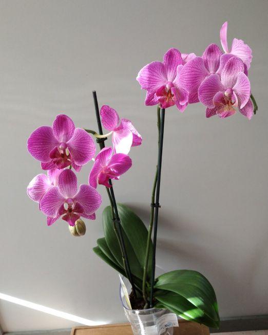 орхидея Фаленопсис _1