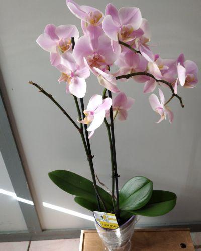 орхидея Фаленопсис _3