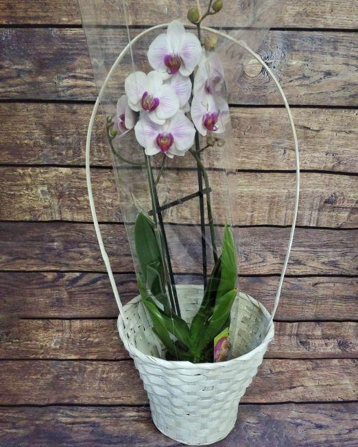 орхидея фаленопсис2