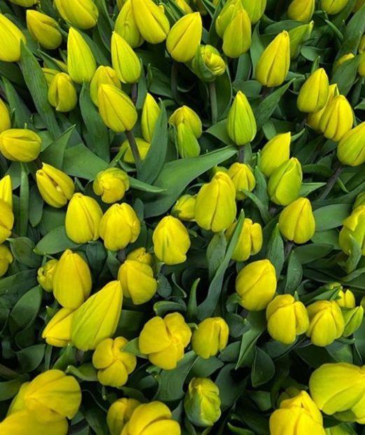 тюльпан 1