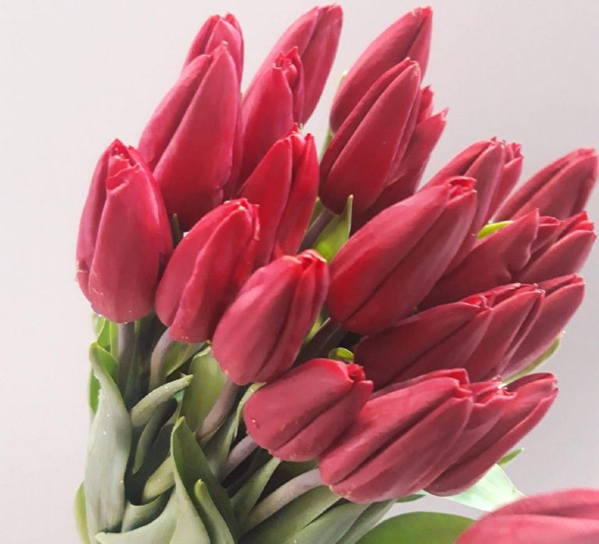 Тюльпан темно-красный 388