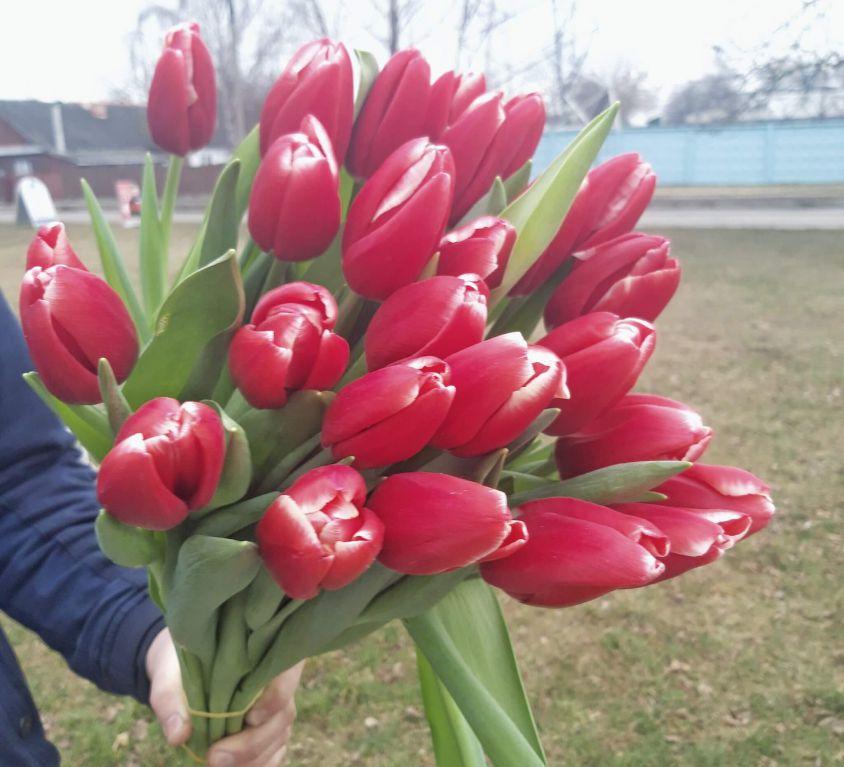 Тюльпан двухцветный 392