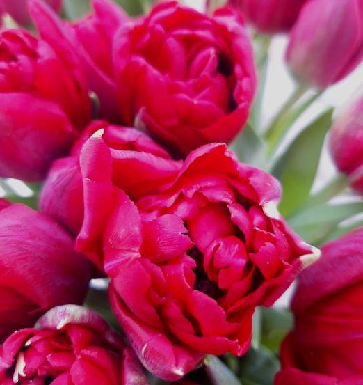 красный пионовидный тюльпан